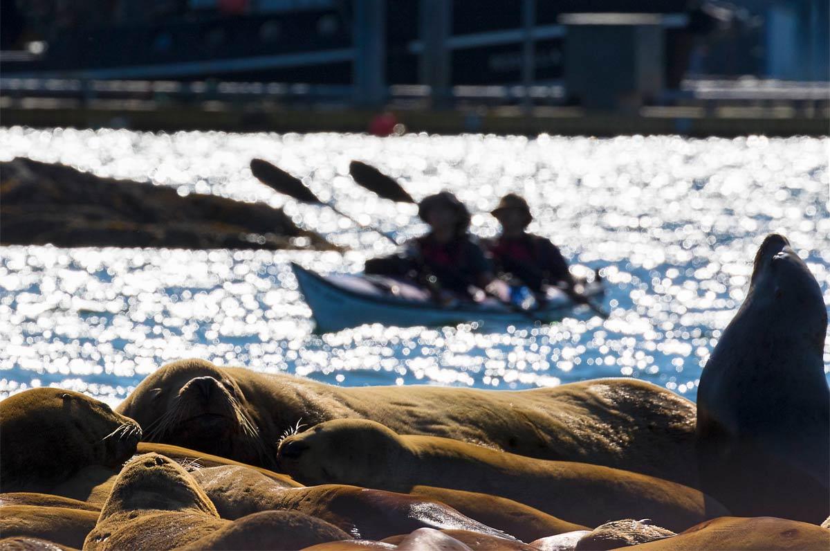 Sea-Lions-Kayak