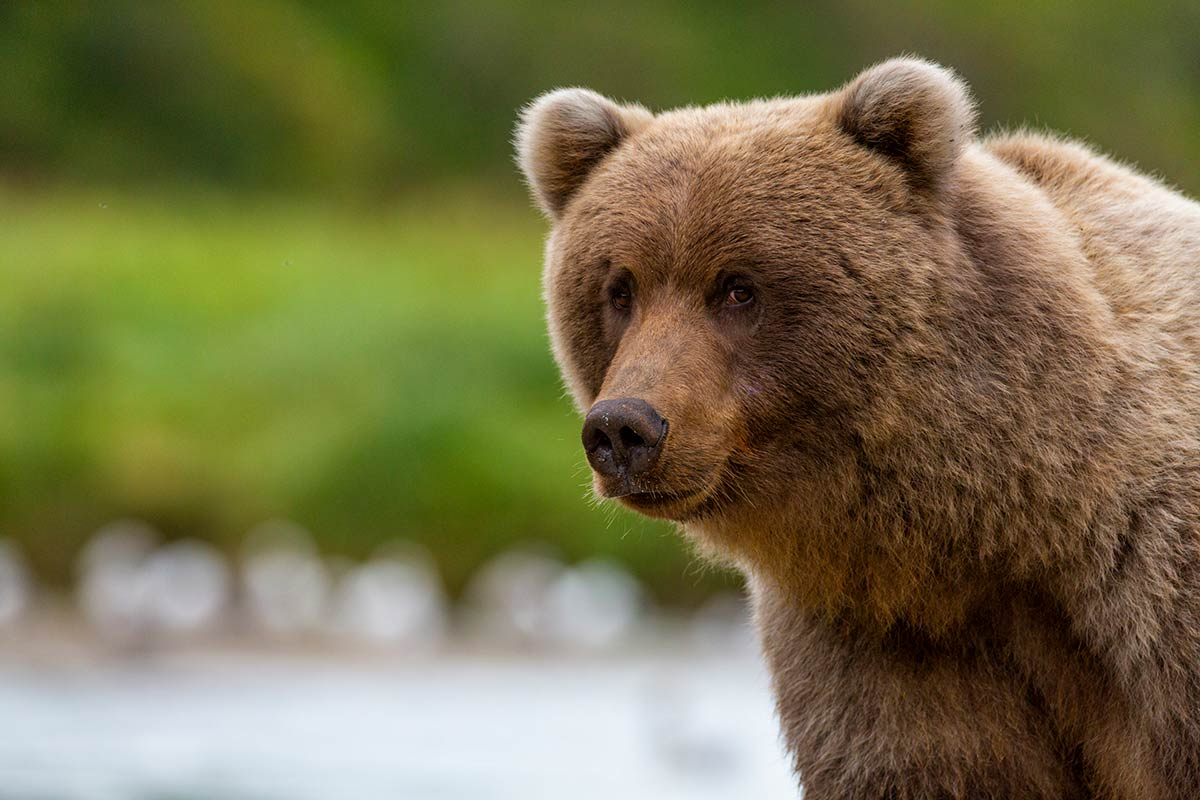 Kodiak-Wildlife-Cruises-Brown-Bear