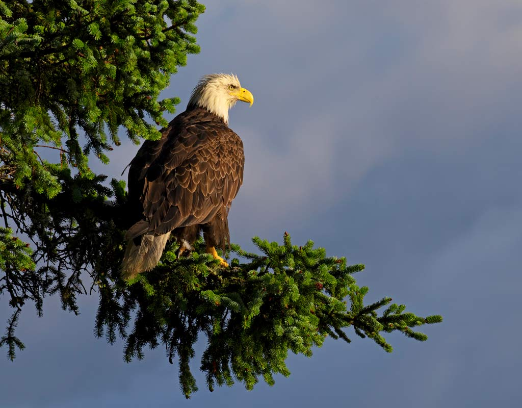 Kodiak-Wildlife-Viewing-Eagle