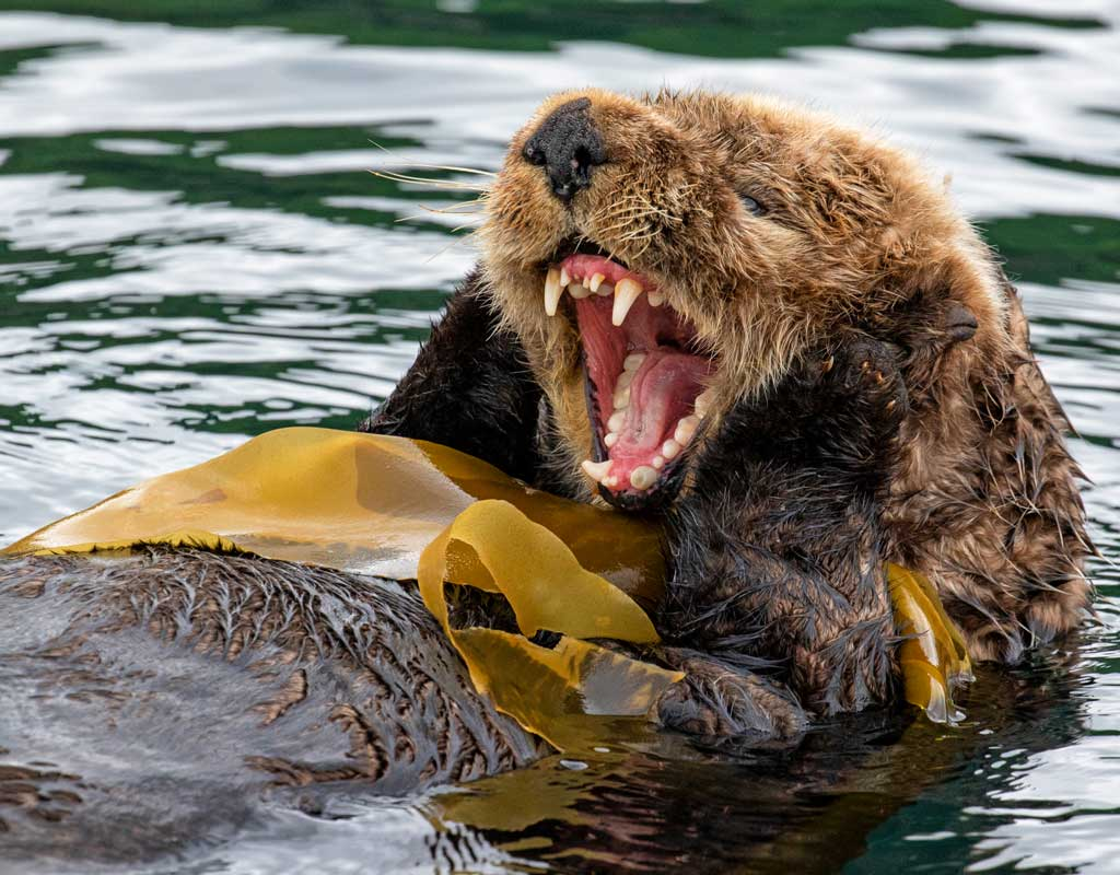 Kodiak-Wildlife-Viewing-Otter-Teeth