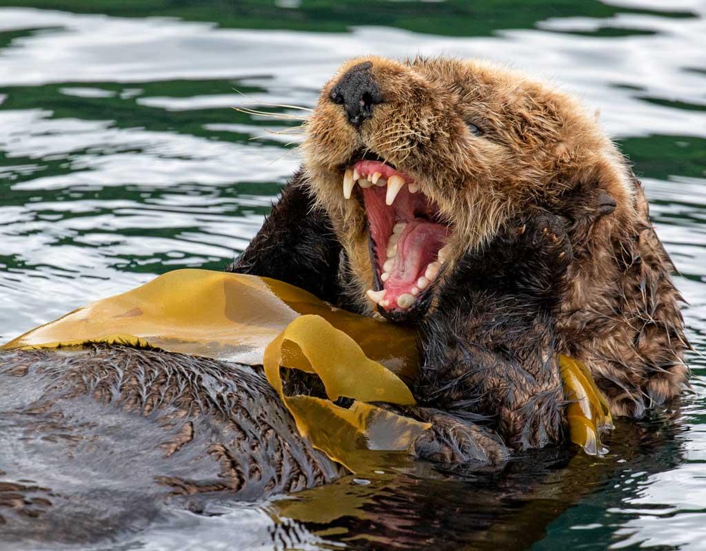 Kodiak-Wildlife-Viewing-Otter-Teeth