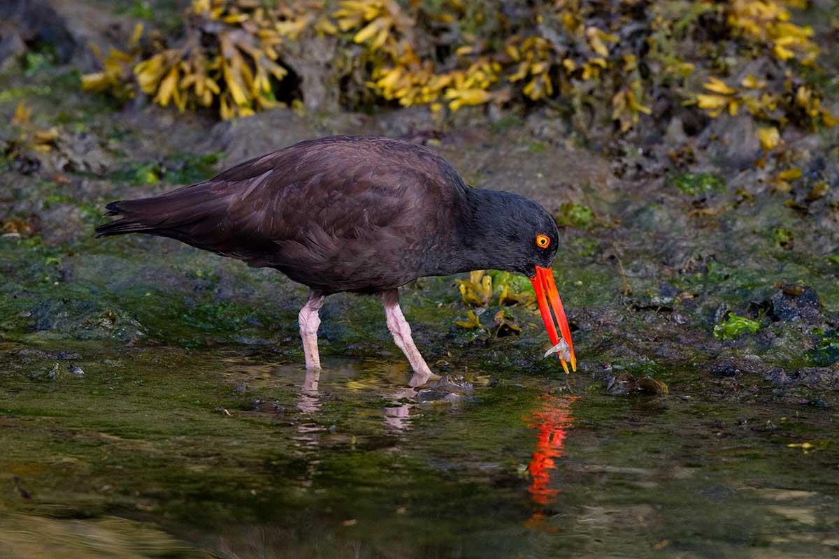 Kodiak-Wildlife-Viewing-oystercatcher