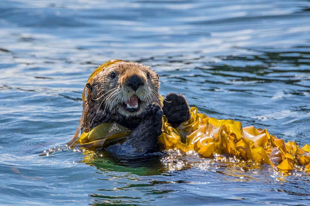 Kodiak-Wildlife-Viewing-sea-otter-1
